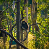 Dubbo, NSW, Australia<br /> White-Handed Gibbon (Hylobates lar) at Western Plains Zoo.