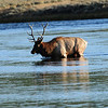 Elk crossing river in Yellowstone