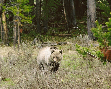 Grizzly Bear near Fishing Bridge