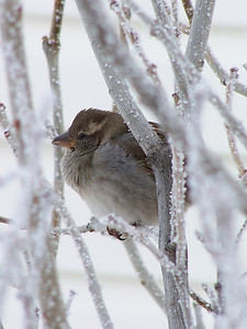 Sparrow in the frosty lilacs