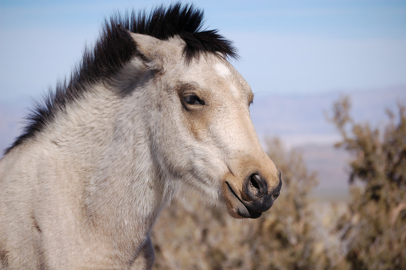 Wild horse at cold creek area north of Las Vegas,Nv.