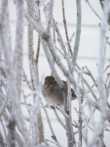 """His eye is on the sparrow, and I know He watches me.""  Sparrow in the frosty lilacs"