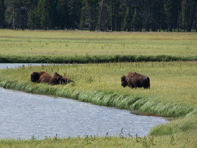 Buffalo near Fishing Bridge in Yellowstone National Park.
