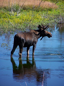 Moose in Grand Teton National Park, Wyoming. 8.08
