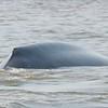 Blue Whale Hump