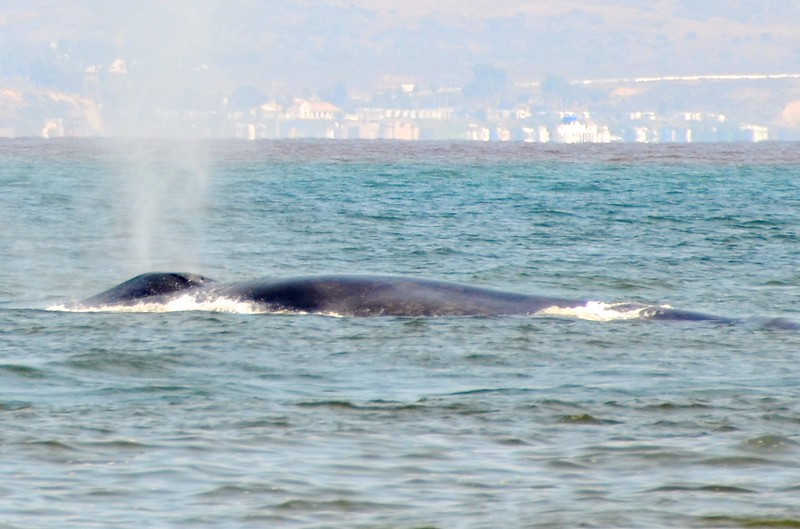 More Blue Whale