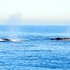 A pair of fin whales taking a breath.