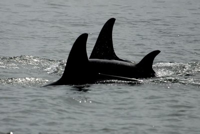 Pod of Orca Whale's from whale watching trip out of Victoria BC