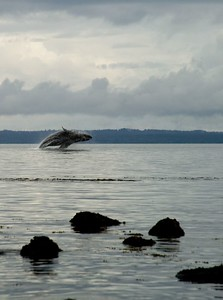 Humpback whale, Point Adolphus on Chichagof Island