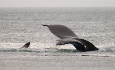 Humpback whale and sea lion, Point Adolphus on Chichagof Island