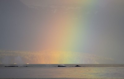 Humpback whale, Point Adolphus on Chichagof Island