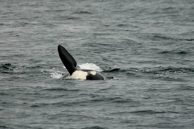 Orca Whale from whale watching trip out of Victoria BC