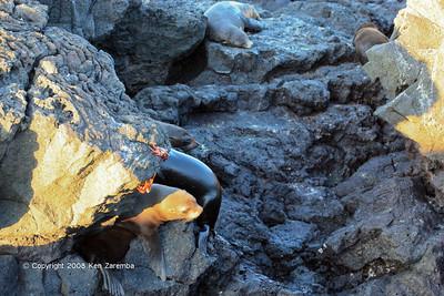 Galapagos Fur Seals, Isla Santiago 11/07/08