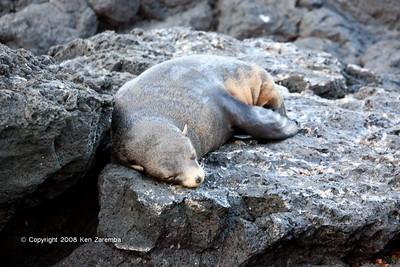 Galapagos Fur Seal, Isla Santiago 11/07/08