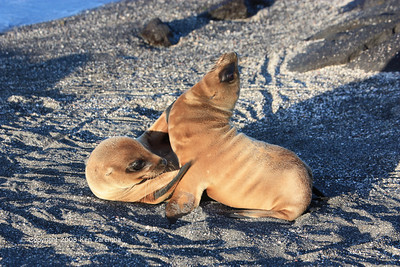 Galapagos Sea Lion pups, Isla Fernandina 11/04/08