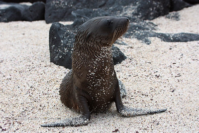 Galapagos Sea Lion pup, Isla Espanola 11/02/08
