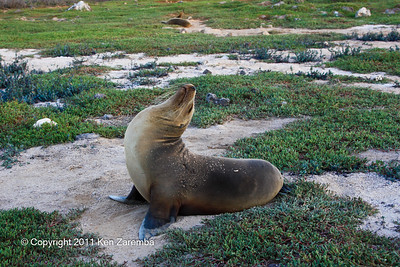 Female Galapagos Sea Lion, North Seymour Island 11/01/08