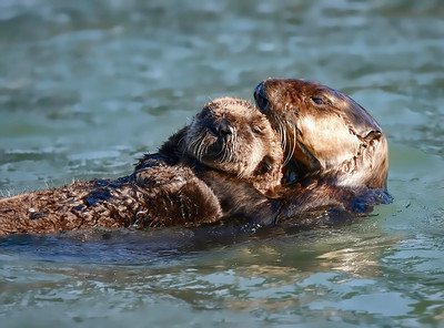 Sea Otters ~ Parent and baby