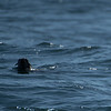 No, it is not a poor dog swimming in the middle of the ocean. It is a fur seal.