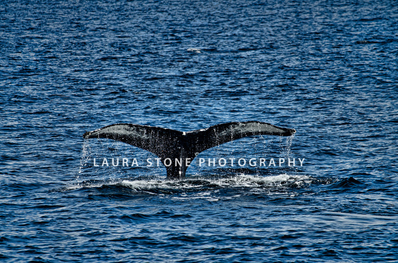 Humpback Whale, Cape Ann, Massachusetts. 8/28/2012.