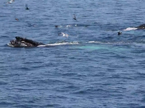 A short video showing the whales surfacing.