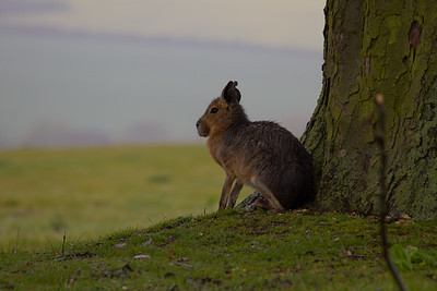 Patagonian Mara