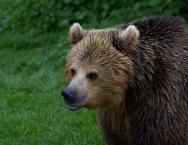 European Brown Bear