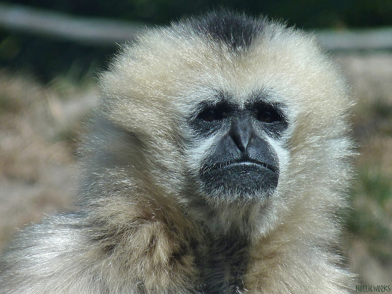 White Cheeked Gibbon in Captivity
