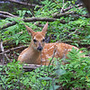 A Fawn sit quietly in the woods.