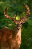 MWT-11044: Golden Antlers