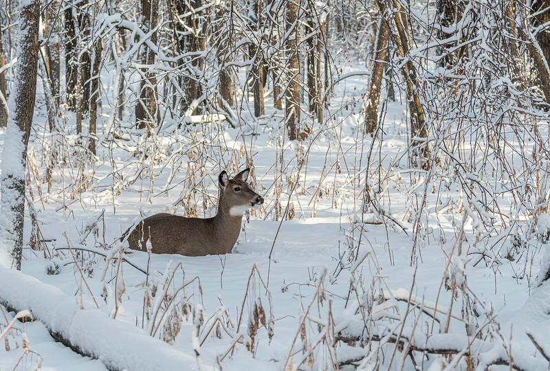 Winter wonderland doe