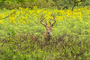 Trophy buck in Goldenrod