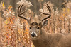 MWT-12956: Buck in late fall Goldenrod