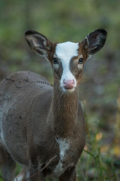Piebald fawn