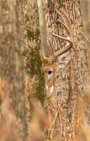 Peek-a-boo buck