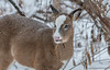 Piebald yearling in falling snow