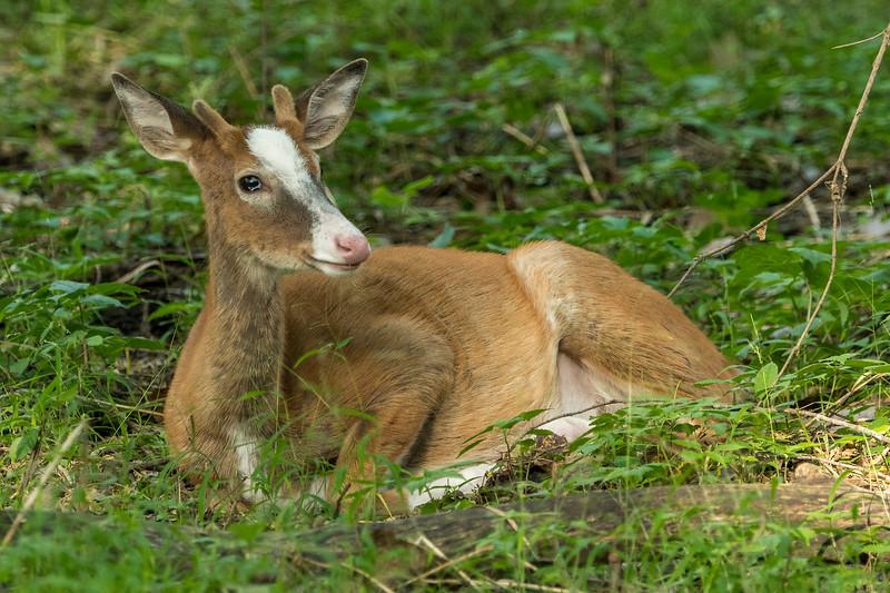 Yearling Piebald buck