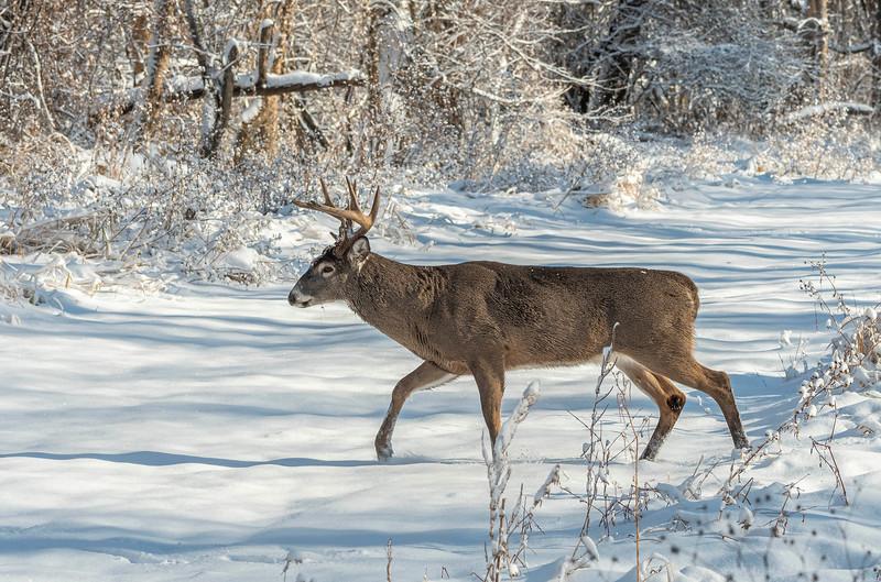 Rutting buck