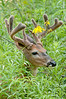 MWT-12160: Velvet antlers and cone flowers