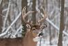 Buck winter portrait