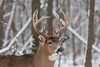 Buck winter portrait