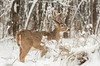 Whitetail buck in snowfall