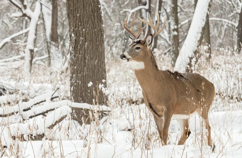 Alert December Whitetail
