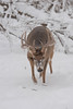 MWT-122100: Whitetail buck