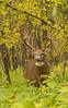 Buck in cover