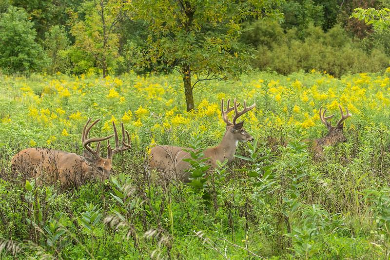Trio of bucks feeding