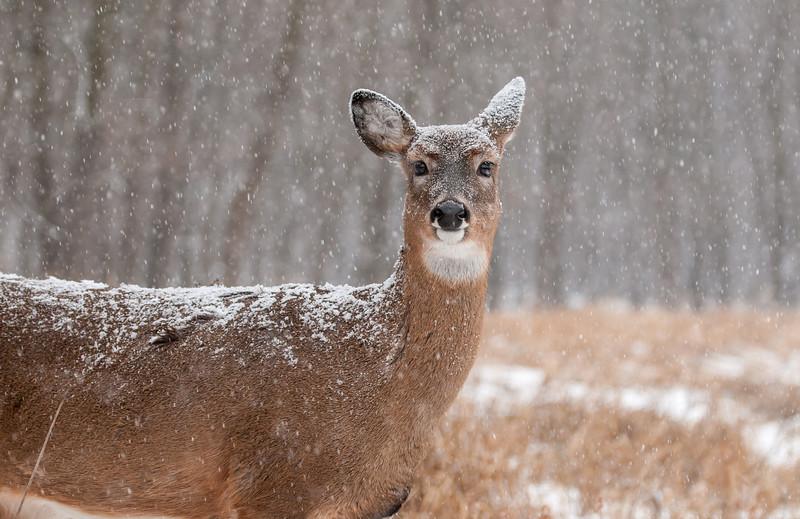 Doe in snowstorm