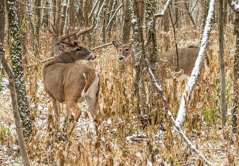 Buck with doe