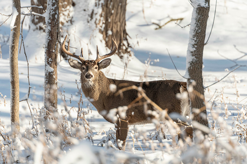 Whitetail buck in first snow