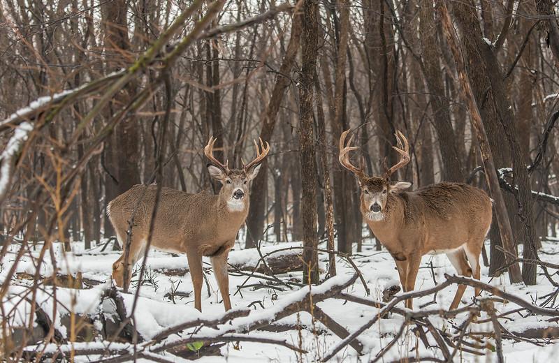 A pair of bucks